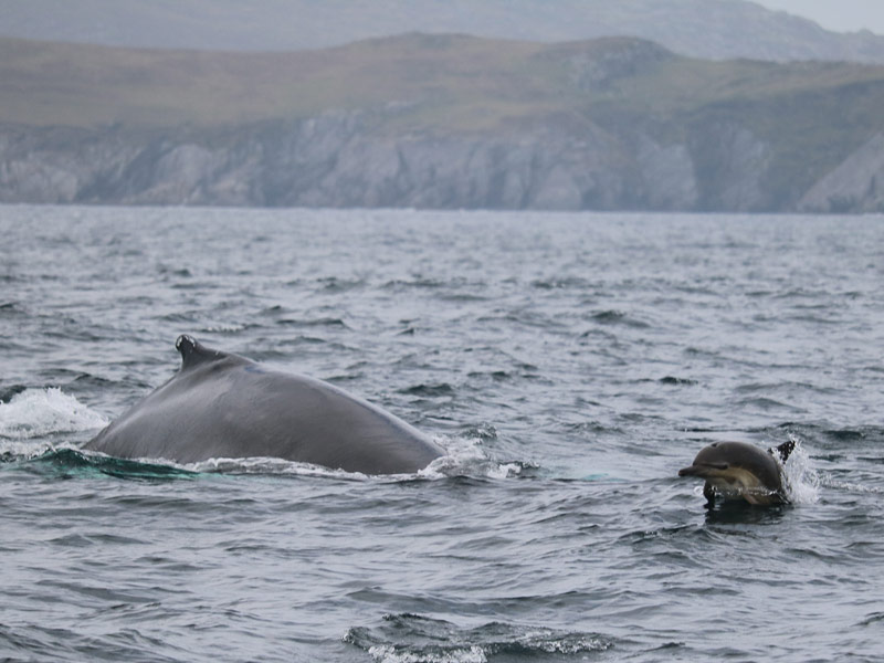 Whale and Dolphin Watching West of Castletownbere