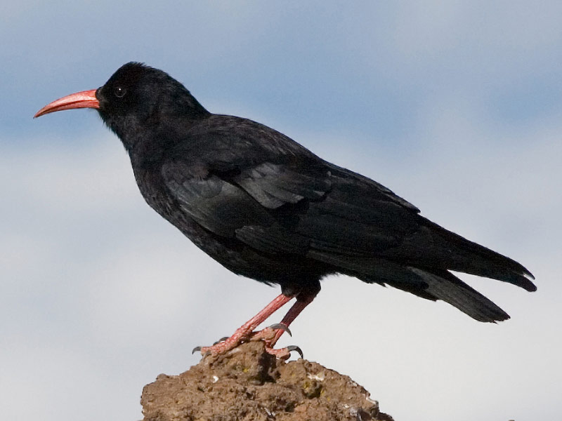 Chough birdwatching Castletown Berehaven