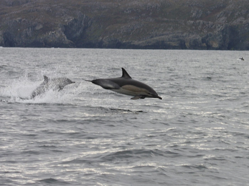 A dolphin off the Beara Coast