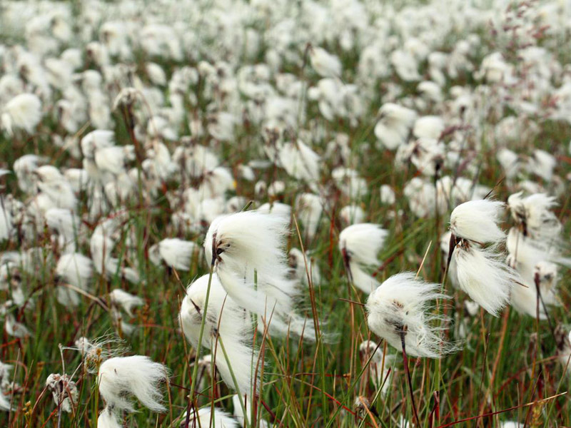 Bog cotton, Beara Peninsula