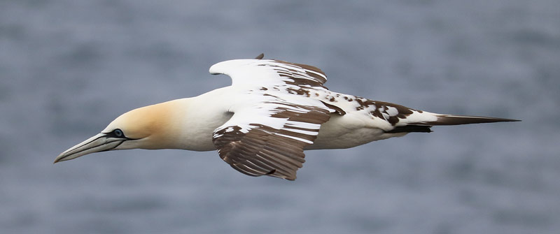 A gannet off the West Cork coast