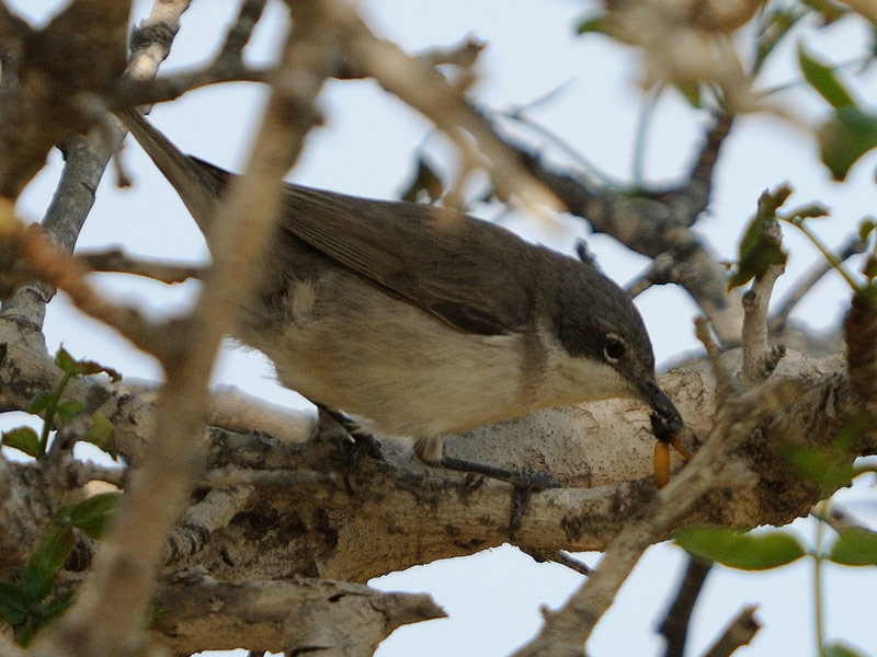 Lesser-Whitethroat birdwatching Beara Way