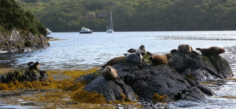 Garnish island common seals